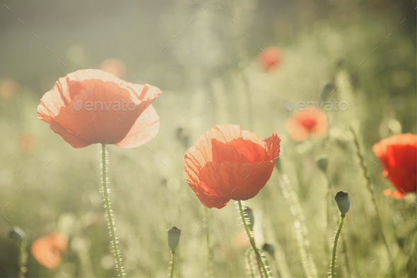 Poppy - Stock Photo - Images