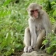 Female Macaques in the Jungles of Asia - VideoHive Item for Sale