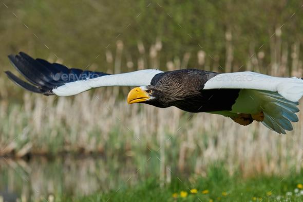 Stellers sea eagle (Haliaeetus pelagicus) - Stock Photo - Images