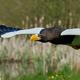 Stellers sea eagle (Haliaeetus pelagicus) - PhotoDune Item for Sale