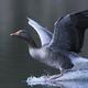 Greylag goose (Anser anser) - PhotoDune Item for Sale