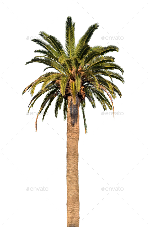 Palm tree on white background - Stock Photo - Images