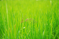 Rice with green nature - PhotoDune Item for Sale