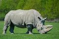 White rhinoceros (Ceratotherium simum) - PhotoDune Item for Sale