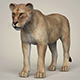 Photorealistic Wild Lioness - 3DOcean Item for Sale