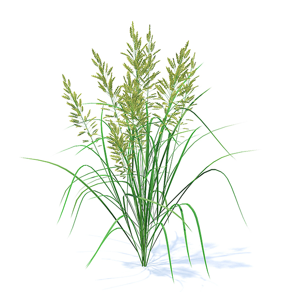 3DOcean Flowering Grass 3D Model 21113053