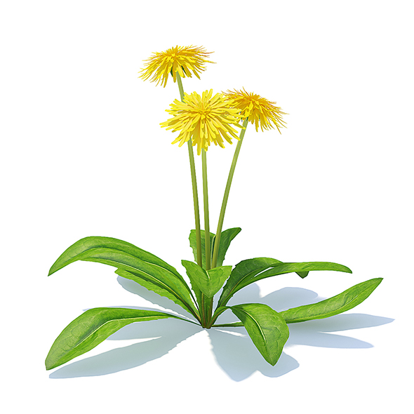 Sow-thistle 3D Model - 3DOcean Item for Sale