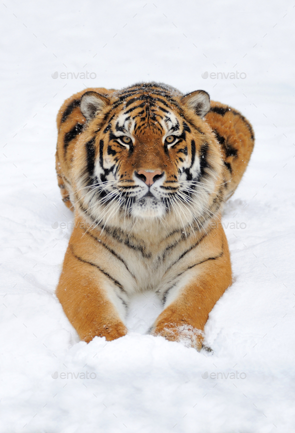 Tiger in snow - Stock Photo - Images