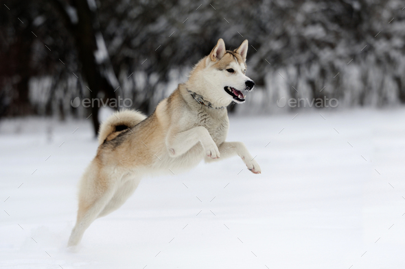 Husky - Stock Photo - Images