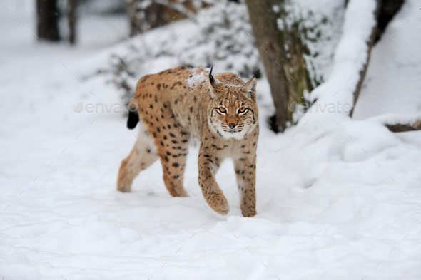 Lynx in winter day - Stock Photo - Images