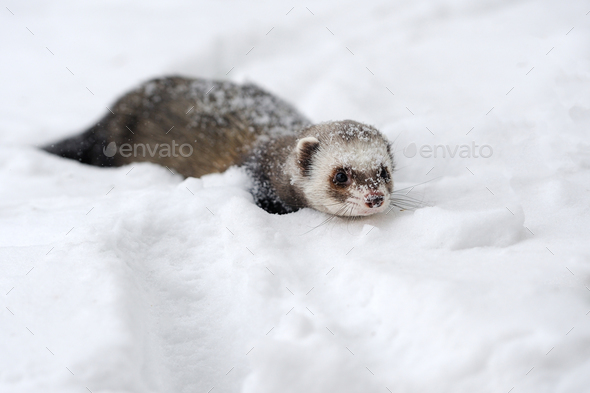 Wild ferret in snow - Stock Photo - Images