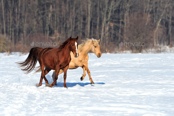 Horse runs gallop in winter time - Stock Photo - Images