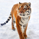 Tiger in snow - PhotoDune Item for Sale