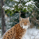 Lynx in winter day - PhotoDune Item for Sale