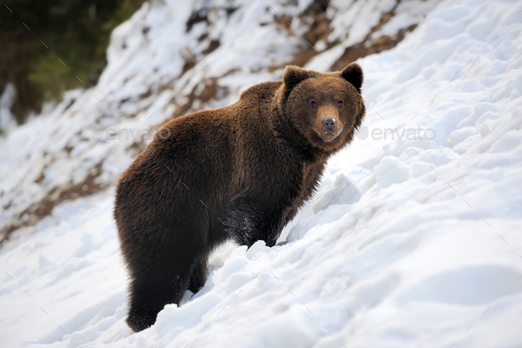 Bear in winter time - Stock Photo - Images