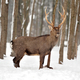 Deer in winter time - PhotoDune Item for Sale
