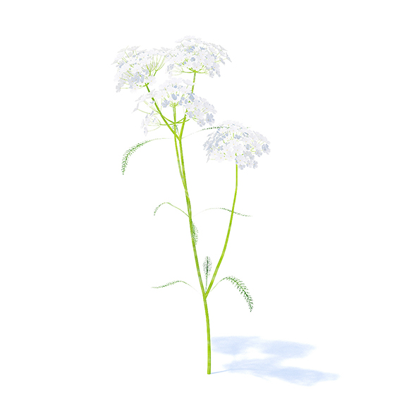 3DOcean Yarrow plant Achillea millefolium 3D model Height 34cm Compatible with 3ds max 2010 or higher 21113256