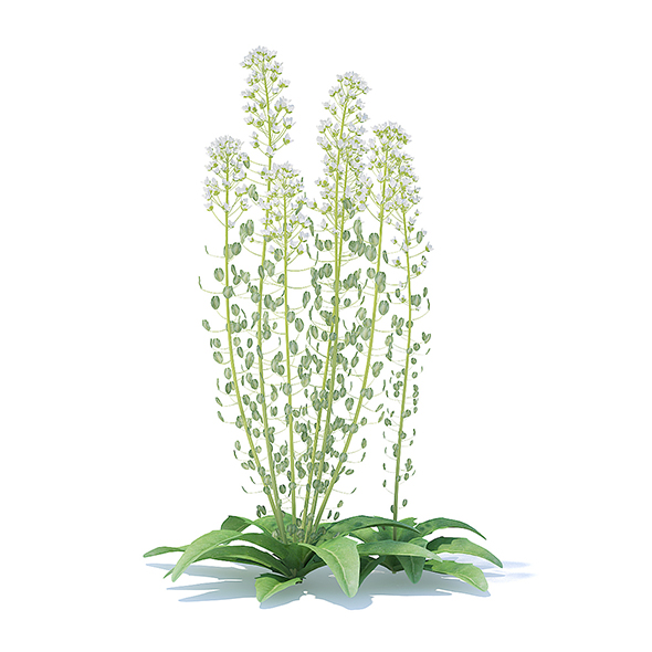 Field Pennycress 3D Model - 3DOcean Item for Sale