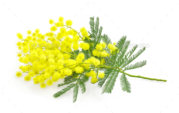 Wattle flower or mimosa branch, symbol of 8 march, women interna - Stock Photo - Images