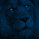 Lion Turns Around With Bright Eyes At Night - VideoHive Item for Sale