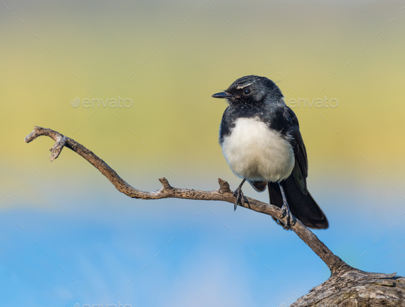 Willie Wagtail on Branch - Stock Photo - Images