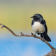 Willie Wagtail on Branch - PhotoDune Item for Sale
