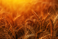 Golden ripe wheat ears in the field - PhotoDune Item for Sale