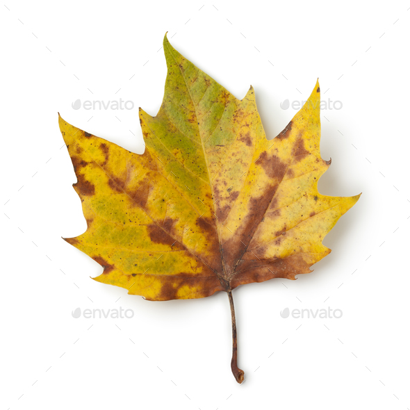 Plane tree leaf - Stock Photo - Images