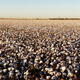 Cotton plants appear in neat rows on a Texas plantation - PhotoDune Item for Sale