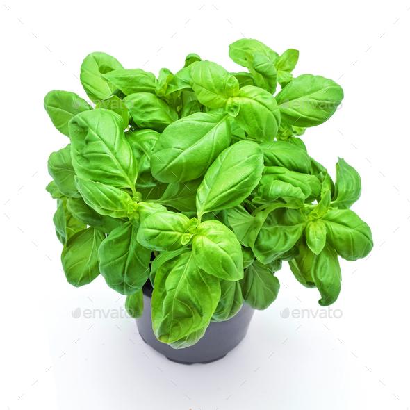 basil plant - Stock Photo - Images