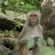 Monkey in the Wild Jungles of Asia - VideoHive Item for Sale
