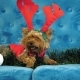 Cute Yorkshire Terrier Dog, Wears a Winter Jacket and Funny Horns - VideoHive Item for Sale