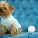 Cute Dog Yorkshire Terrier, Sitting on a Blue Sofa and Looking Up. - VideoHive Item for Sale