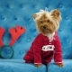 Cute Dog Yorkshire Terrier, Sitting on a Blue Sofa in Dog Clothes. - VideoHive Item for Sale