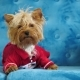 Cute Dog of Yorkshire Terrier, Lying on Sofa in Dog Clothes - VideoHive Item for Sale
