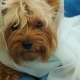 Cute Dog of the Yorkshire Terrier, Sitting on the Couch As a Bride in a Fot. - VideoHive Item for Sale