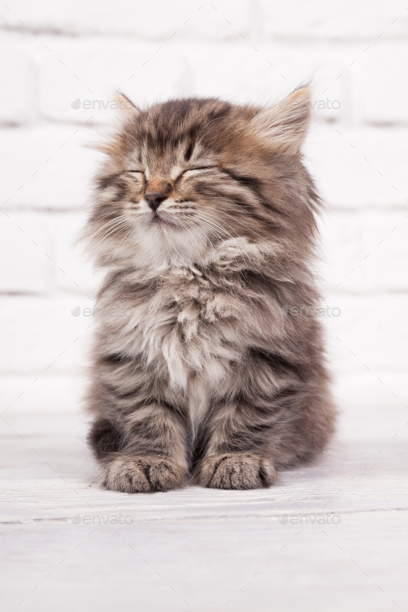 Young fluffy kitten falls asleep - Stock Photo - Images