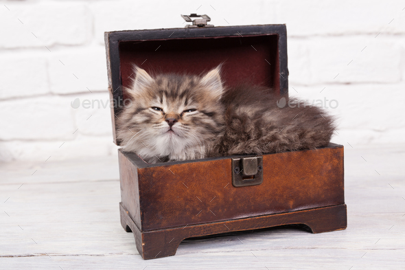 Young fluffy kitten slipping in the chest - Stock Photo - Images