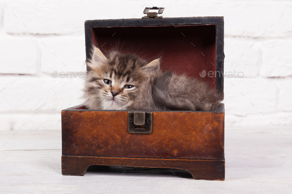 Young fluffy kitten in the chest - Stock Photo - Images