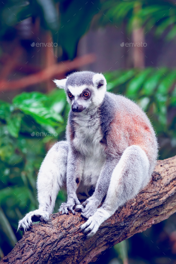 Ring-tailed lemur - Stock Photo - Images