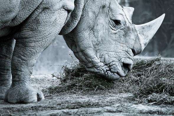 White rhino - Stock Photo - Images