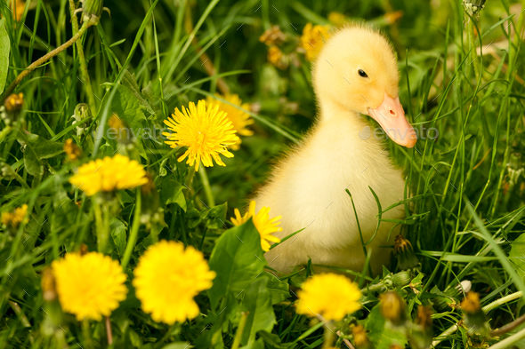 Small duckling - Stock Photo - Images