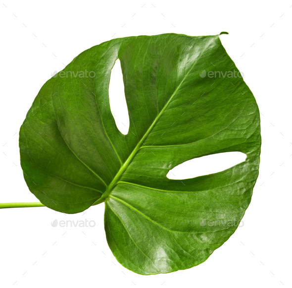 green tropical leaf - Stock Photo - Images