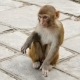 Young Monkey in the City of Kathmandu - VideoHive Item for Sale