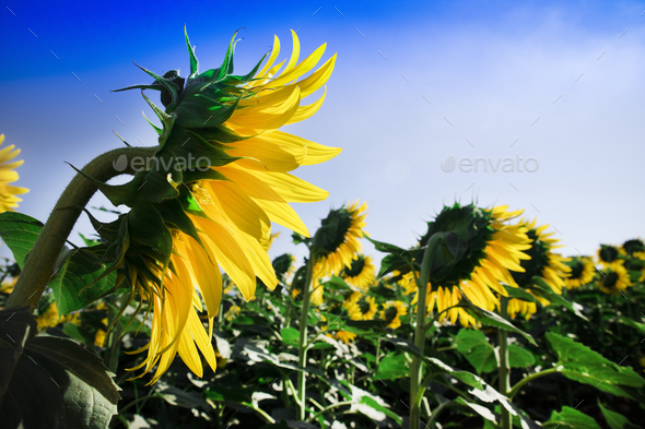 Field of sunflowers - Stock Photo - Images