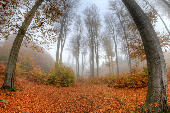 Misty haze in a beech forest in autumn - fish eye lens - Stock Photo - Images