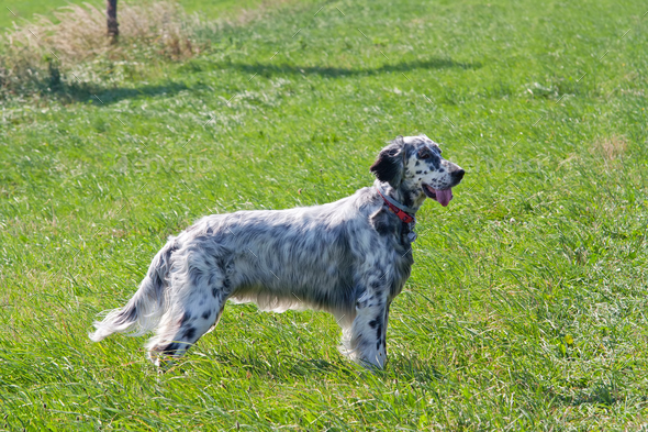 English Setter on the meadow - Stock Photo - Images
