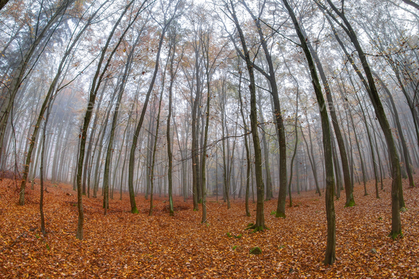 Fog in beech forest in autumn - Stock Photo - Images
