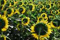 Field of sunflowers - PhotoDune Item for Sale