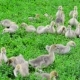 Young Geese Eating Grass - VideoHive Item for Sale